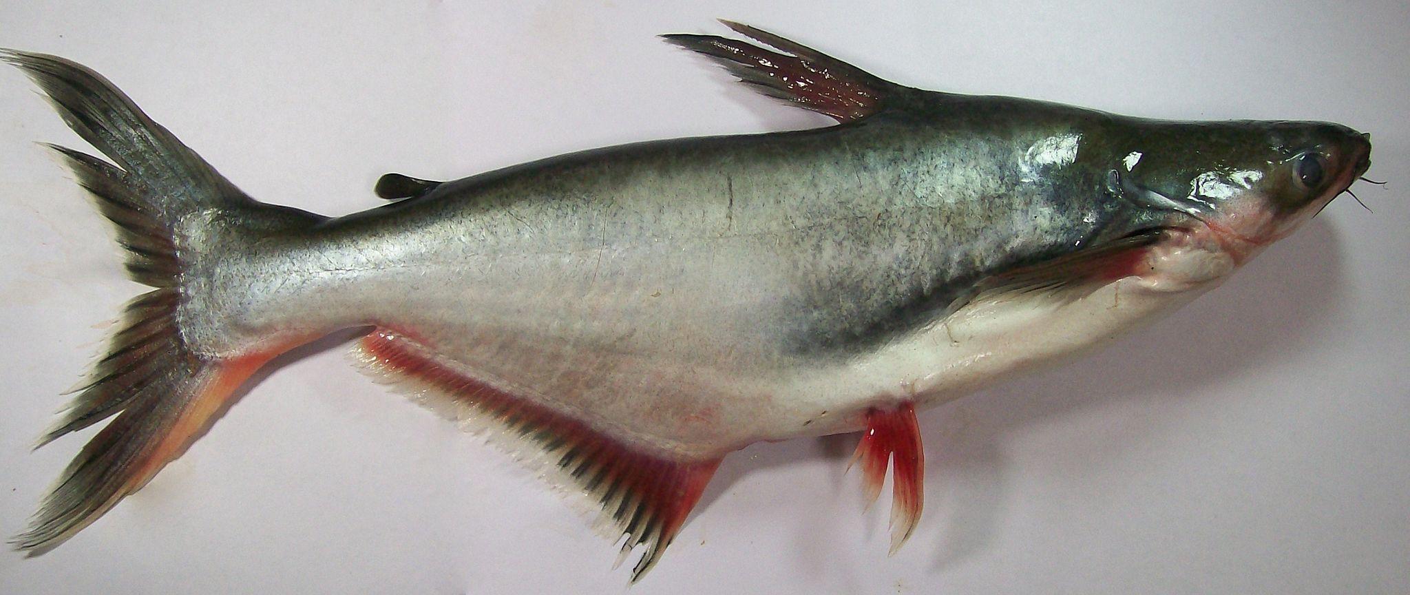 Pangasianodon hypophthalmus