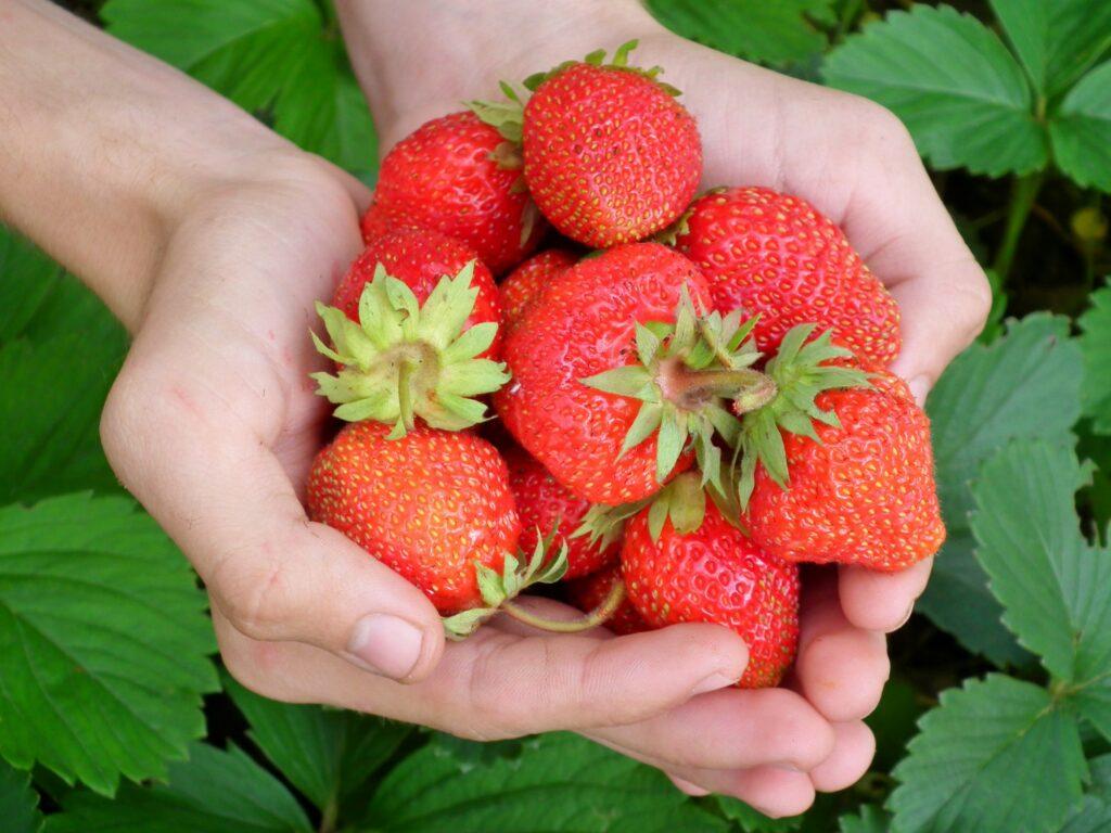Sauerländer Erdbeeren aus Kückelheim bei Schmallenberg