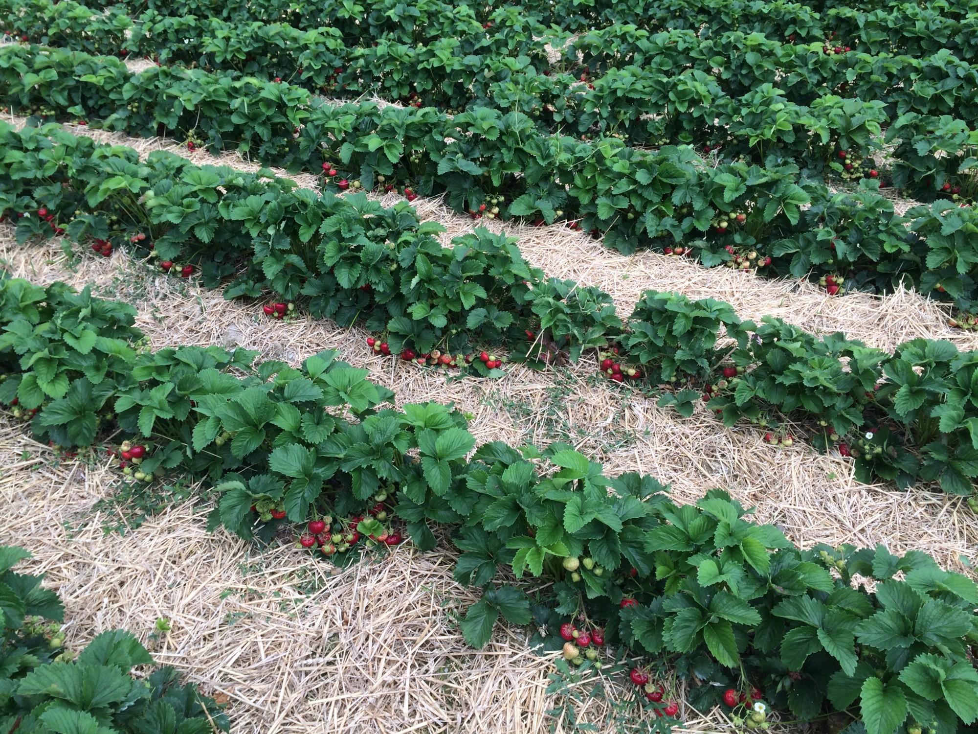 Sauerländer Erdbeeren