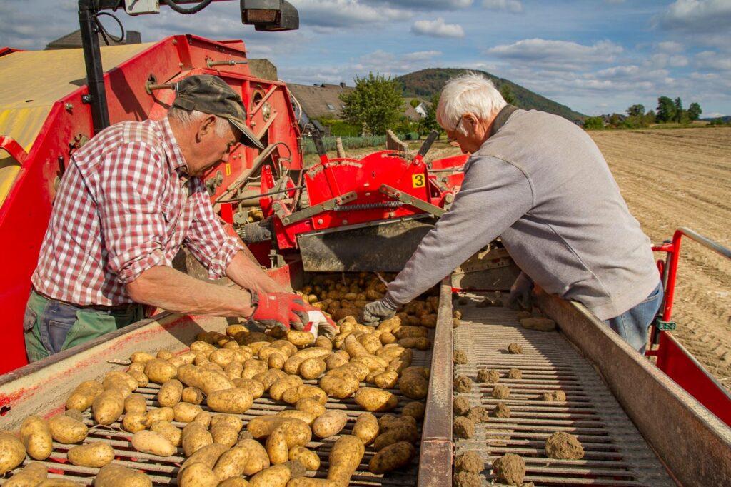 Kartoffelernte auf Hof Ax in Schmallenberg.  Foto: Heidi Bücker