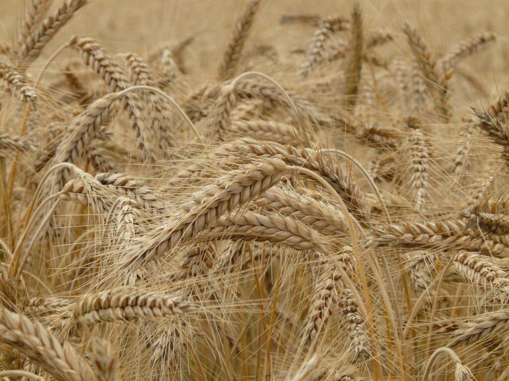 Vom Korn zum Brot. Image by Hans Braxmeier from Pixabay