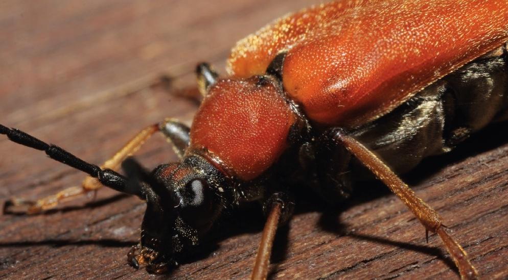 Sauerländer Käfer