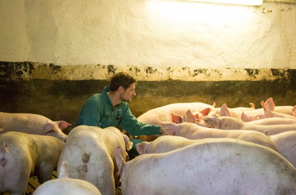 Eine wahre Leidenschaft: Florian Hollmann liebt es bei seinen Schweinen im Stall zu arbeiten. Foto: Matthias Koprek