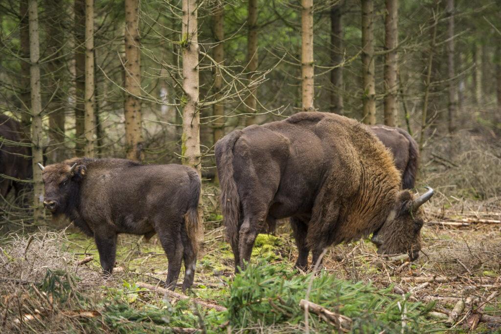 Frei lebende Wisent-Herde bei Schmallenberg-Schanze
